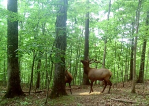 Two Kentucky elk.