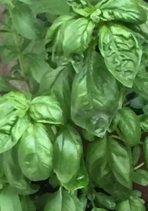 fresh basil two