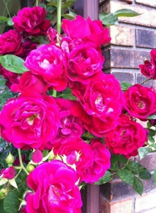 Our summer roses are in full bloom.