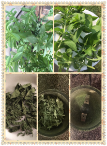 Growing & drying stevia